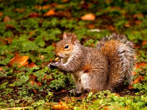 work-4285961-2-flat550x550075f-grey-squirrel-st-james-park-london-autumn